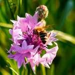 Die Blüten locken die Bienen mit ihrem Farbrausch